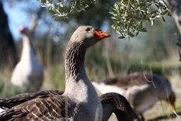 La Flandre interdit l'élevage d'animaux à fourrures et le gavage