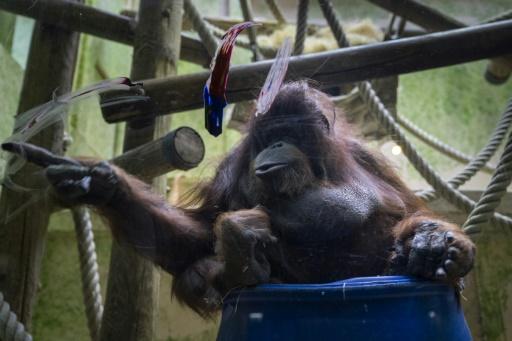 L'orang-outan star Nénette, à l'étroit, attend sa grande volière extérieure