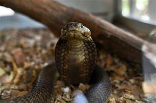 Morsures de serpents- un poison toujours aussi meurtrier