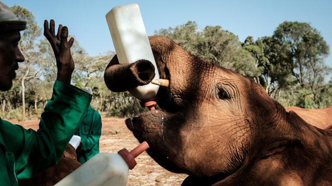Blessé par balle, Luggard, un éléphanteau, a survécu grâce aux soins d'un orphelinat du Kenya (photo)