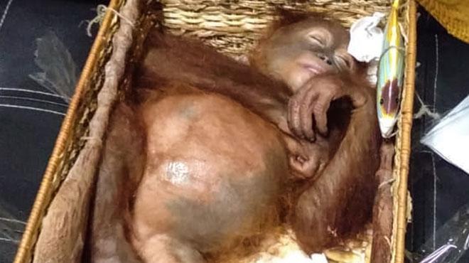 Il transportait un orang-outan drogué dans sa valise: un Russe arrêté à Bali