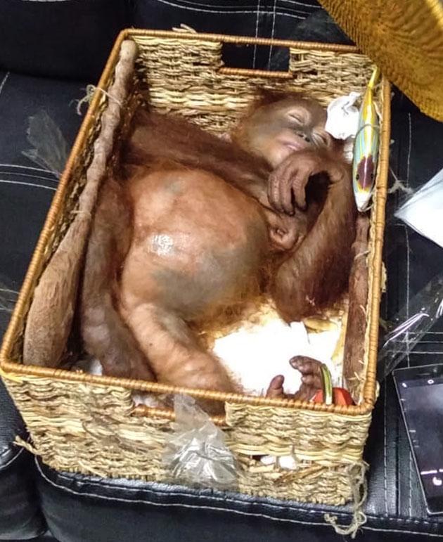 OrangOutanOK