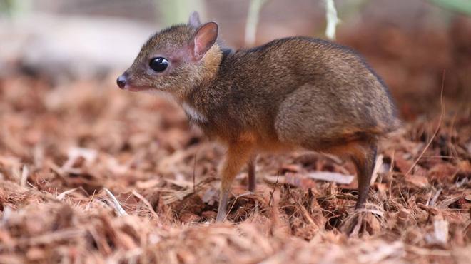 Nouvelle naissance à Pairi Daiza: voici un Petit Kanchil de Java,