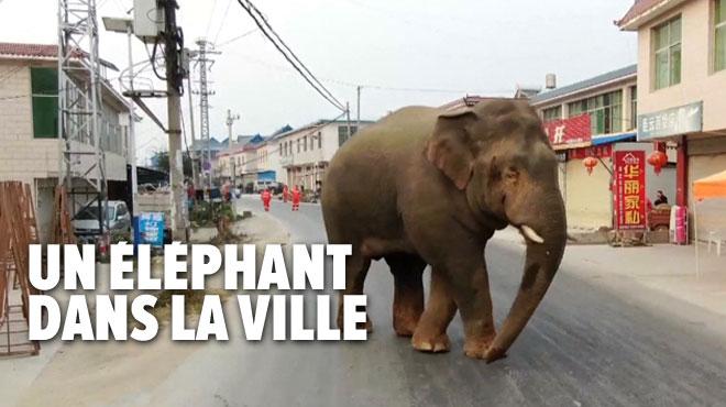 Coup de blues pour un éléphant: chassé de son troupeau, il vagabonde dans une ville en Chine