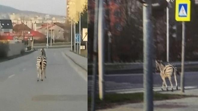Un zèbre échappé d'un zoo perdu dans une ville de Slovaquie