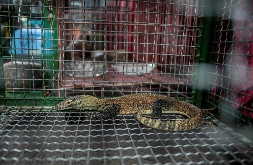 L'Indonésie déjoue un trafic de dragons de Komodo vendus sur Facebook