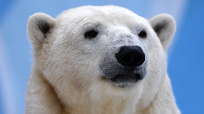 Pairi Daiza: le bourgmestre de Brugelette interdit une manifestation contre l'arrivée des ours polaires