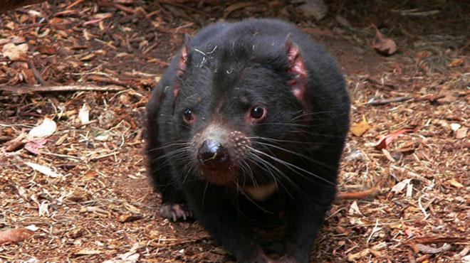Le diable de Tasmanie sauvé de l'extinction? L'animal développe des anticorps contre son cancer