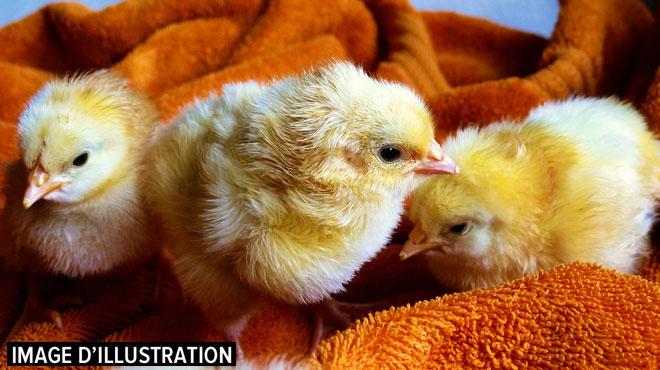 Une école offre des poussins à des élèves pour Pâques: