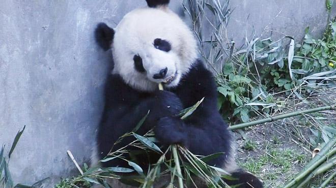 Deux pandas géants prêts à quitter la Chine pour un grand voyage