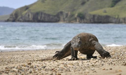 L'Indonésie veut fermer l'île de Komodo pour protéger les dragons