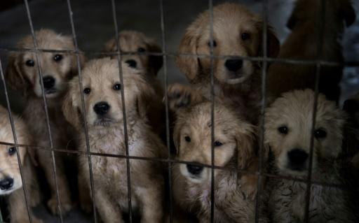Annulation d'une vente aux enchères de 300 chiens