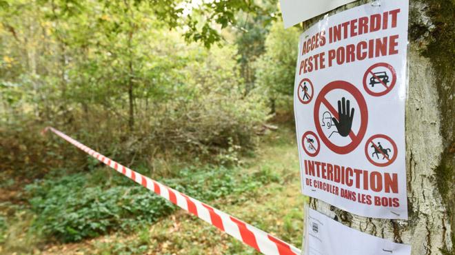 La conséquence inattendue de la peste porcine africaine sur les camps scouts