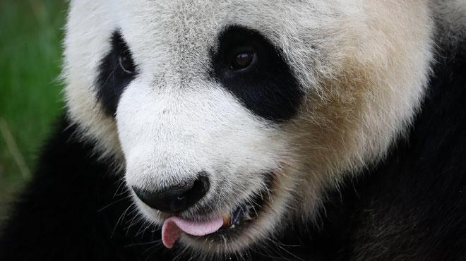 Bientôt un bébé panda à Pairi Daiza? Hao Hao, la femelle panda du parc, a été inséminée avec succès