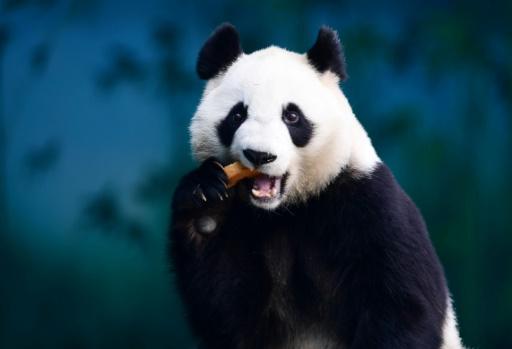 La Chine crée une application pour reconnaître les pandas
