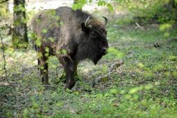 Un bison européen de Bellewaerde réintroduit dans la nature en Azerbaïdjan