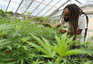 Jamaïque- à la recherche de la ganja perdue