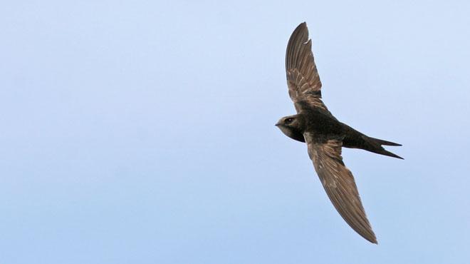 Ils mangent, boivent, s'accouplent et dorment en volant: ces oiseaux fascinants sont menacés