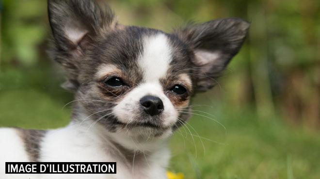 Tito, un petit chihuahua de 4 ans, se fait littéralement dévorer par un pitbull du voisinage à Lessines