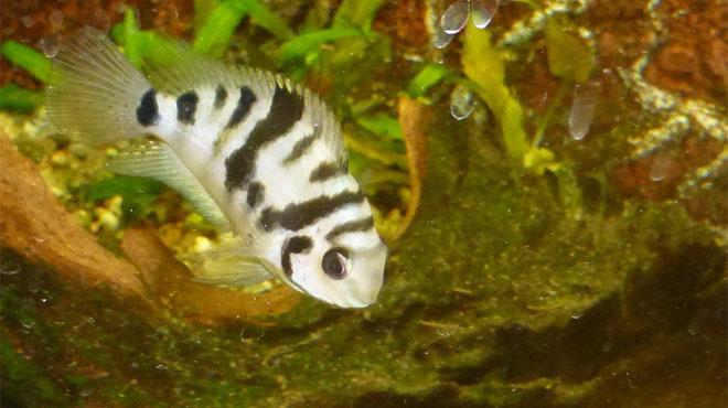 Des chercheurs l'ont prouvé: ce poisson éprouve un