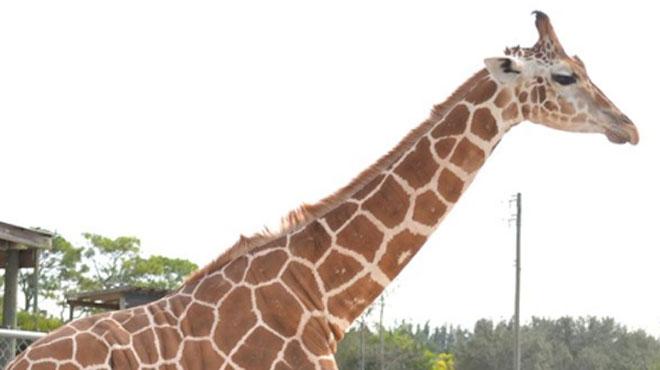 Leur cou s'est transformé en paratonnerre: deux girafes tuées par la foudre en Floride