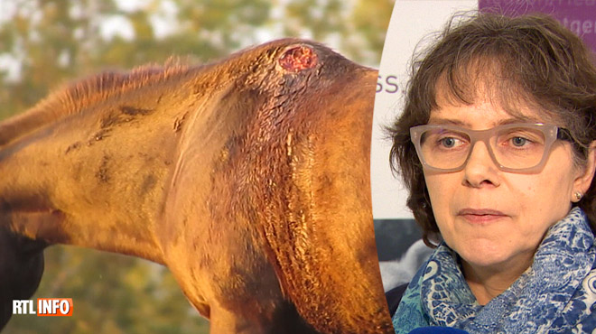 Les images CHOC de chevaux maltraités en Amérique du Sud: Gaia veut interdire cette viande en Belgique