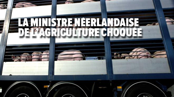 L'Afsca néerlandaise aurait autorisé le transport de porcs malades vers la Belgique