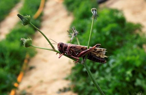 En Sardaigne, une invasion de sauterelles inquiète les agriculteurs