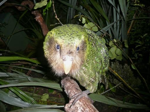 Une épidémie menace le kakapo, perroquet en danger d'extinction