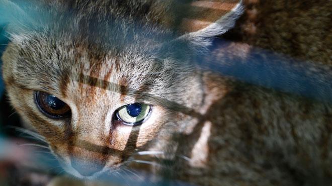 Une probable nouvelle espèce de félin recensée en Corse: le chat-renard (photos)