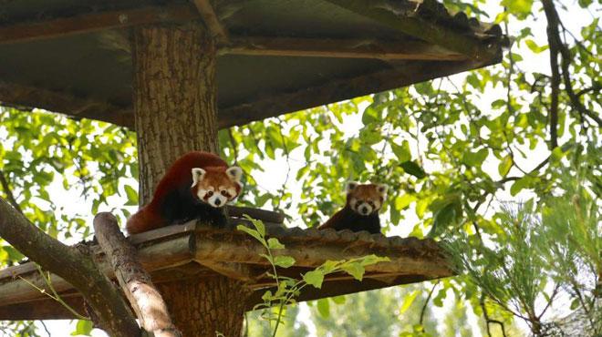Naissance d'un bébé panda roux à Pairi Daiza (PHOTOS)