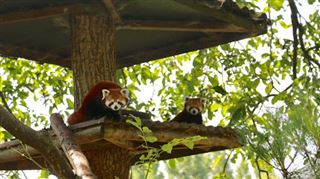 Naissance d'un bébé panda roux à Pairi Daiza (PHOTOS) 5