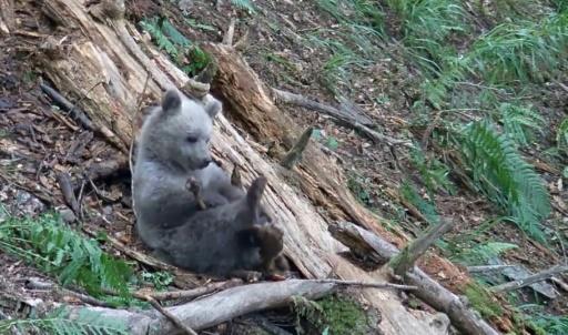 L'ourson, sauvé en Ariège la semaine dernière, en danger après s'être échappé
