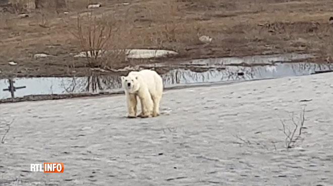 Cet ours polaire est affamé et perdu dans le nord de la Russie à plus de 800 km de son habitat naturel