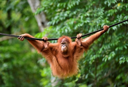 Des orangs-outans remis en liberté après avoir été à l'