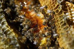 Miel: récolte française