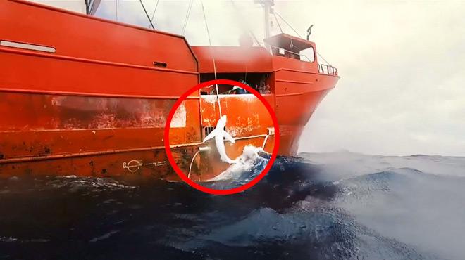 Un navire espagnol SURPRIS en train de pêcher des requins... alors qu'il est censé attraper des espadons