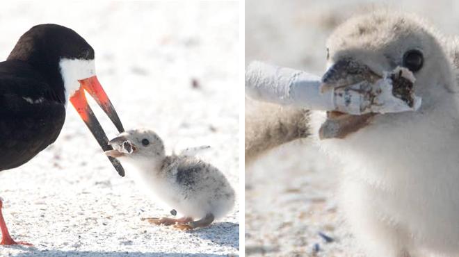 L'image alarmante d'un oiseau qui nourrit son petit avec un mégot de cigarette trouvé sur une plage en Floride