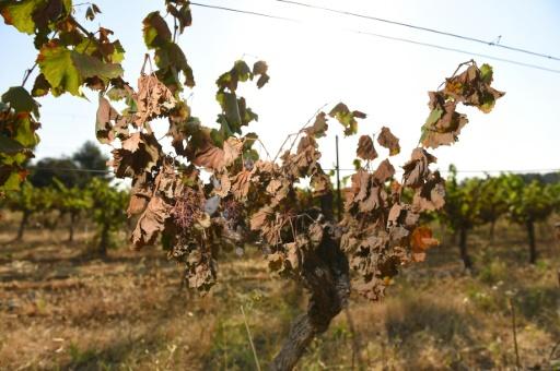 Canicule: des milliers d'hectares de vignes impactés dans l'Hérault