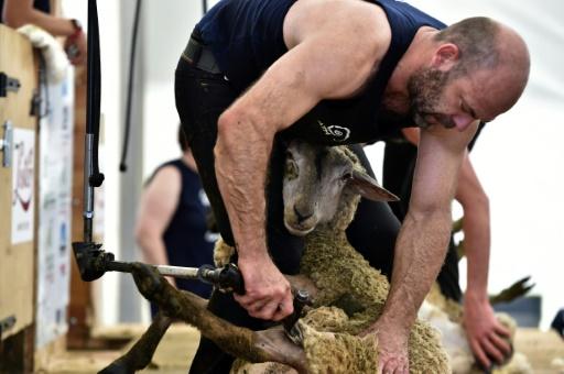 Des milliers de moutons prêts à être tondus au mondial de la tonte