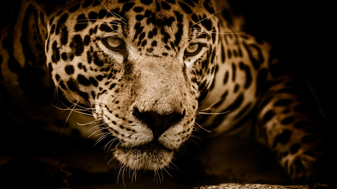Brésil: un braconnier accusé d'avoir tué plus de mille jaguars en plus de 30 ans