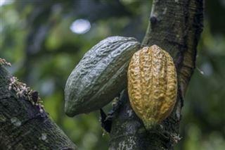 Cacao- Ghana et Côte d'Ivoire adoptent un nouveau mécanisme de fixation des prix