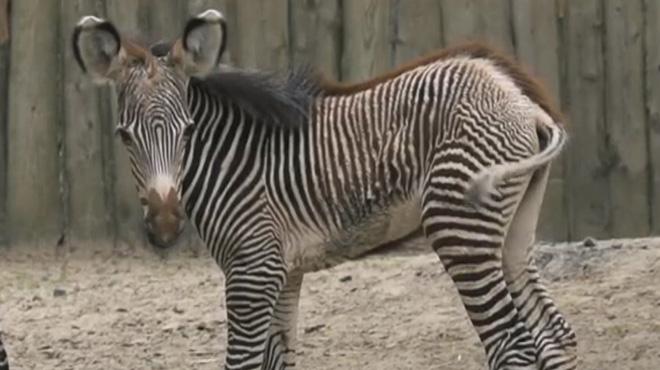 Carnet rose au zoo de Planckendael: le zébreau Uzuri est né!