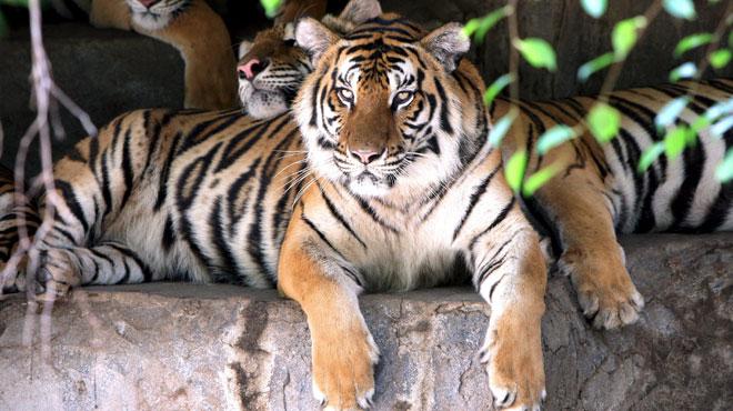 Ettore Weber, un dompteur de cirque réputé a été tué par un tigre en Italie