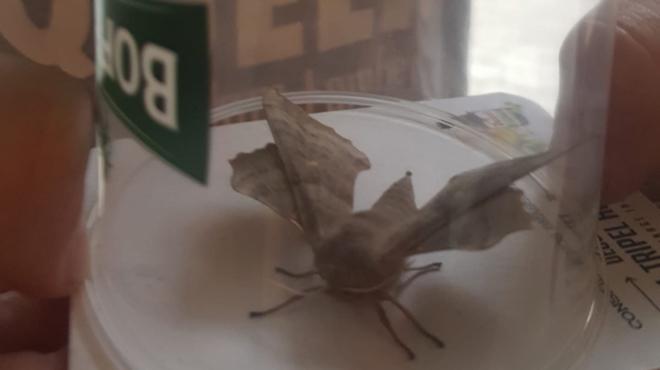 Sarah a découvert ce grand papillon de nuit à Bruxelles (photo): il est très MIMÉTIQUE, quel est cet animal ?