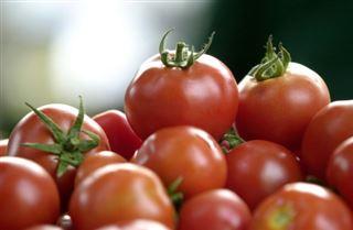 Bio- pas de tomates en hiver sous les serres chauffées