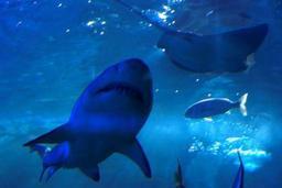 Les requins risquent de disparaître de la Méditerranée, alerte le WWF