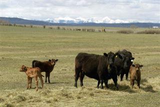 Conditions d'élevage, concurrence déloyale- le Ceta fait trembler les éleveurs bovins français