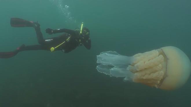 Cette méduse GÉANTE frôle des plongeurs au large des côtes anglaises
