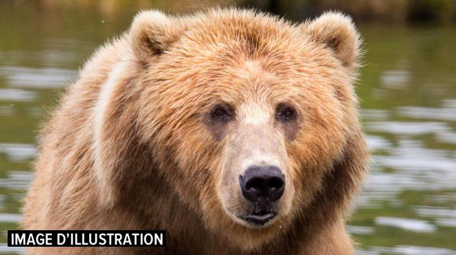 Chasse à l'ours en Italie: M49 s'est échappé d'un parc lundi, il mesure 2 mètres de haut